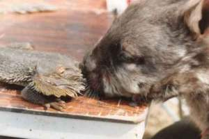 Southern hairy-nosed wombat investigating a lizard