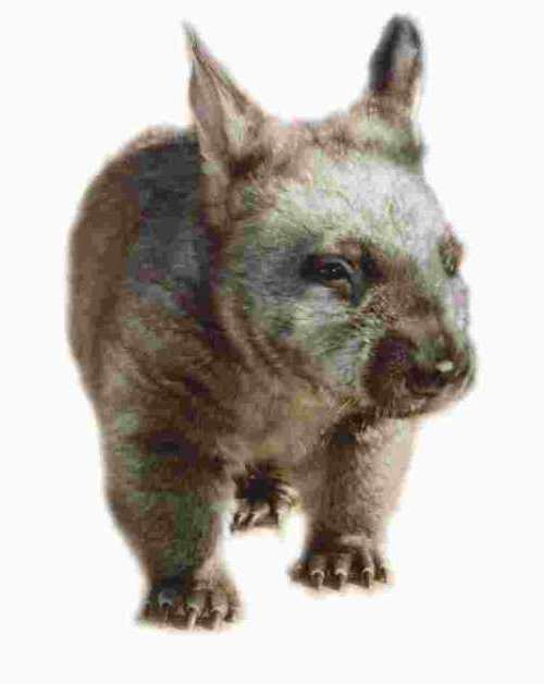Wombat, Southern hairy-nosed