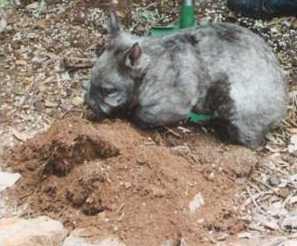 Wombat digging