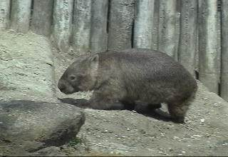 Bare-nosed wombat picture