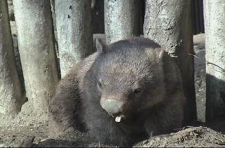 Bare-nosed wombats can look like bears