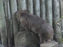 Inquisitive wombat peeking through a fence