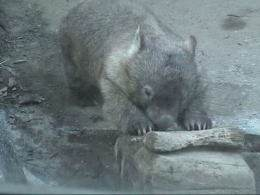 Bare-nosed wombat playing