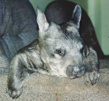 Hairy nosed wombat head