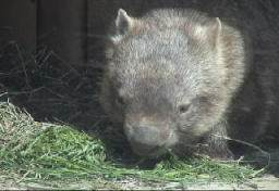 A Bare-nosed wombat eating grass