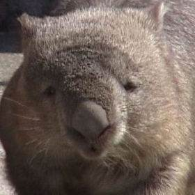 Bare-nosed wombat's head and nose