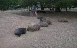 Wombats feeding together in a zoo