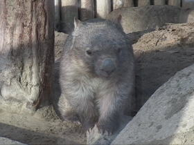 Chewbacca, a Common Wombat in the Tama Zoo