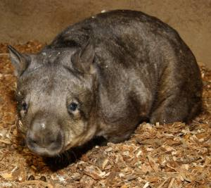Carver, the world's oldest wombat